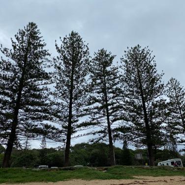 Cypress Trees @ Shelly Beach